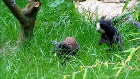 Two white headed marmosets jumping around in high grass. Video of Two white headed marmosets jumping around in high grass stock footage