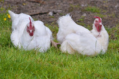 Two white hens. Variety Gâtinaise, sitting on grass Stock Image