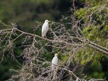 Two white heron Bubulcus ibis sitting on a tree (Republic of the Congo). Two white heron Bubulcus ibis sitting on a tree (Nouabal-Ndoki National Park, Republic Stock Photos