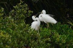 Two White Heron on Display. South Island, New Zealand Stock Photo