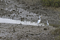 Two White Herons Among Muddy Shells Stock Image
