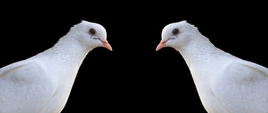 Two white homing pigeons portrait isolated on black Royalty Free Stock Photography