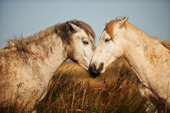 Two white horse of Camargue. Two horses of the Camargue look and smell each other Stock Photos