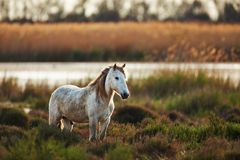 Two white horse of Camargue. Two horses of the Camargue look and smell each other Stock Photography