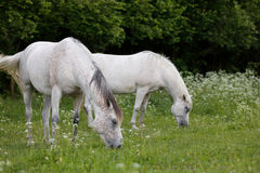 Two white horse is grazing in a spring meadow Royalty Free Stock Image