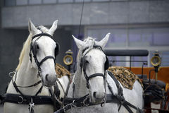 Two white horse Royalty Free Stock Photography