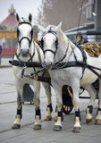 Two white horse Stock Image