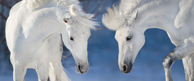Two white horse portrait Royalty Free Stock Photo