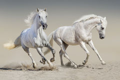 Two white horse run Stock Images