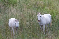Two White Horses. Two horses stand in a green field Royalty Free Stock Images