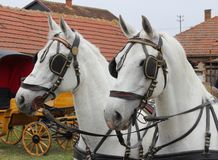 Two white horses Royalty Free Stock Photos