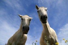 Two white horses Royalty Free Stock Photo