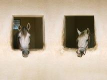 Two white horses. Portrait of two white horses stock photo