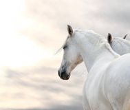 Free Two White Horses Royalty Free Stock Photography - 56775157