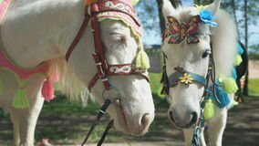 Two white horses as called pony stands in park. Two white horses as called pony are dressed for the holiday stands in the park outdoors stock footage