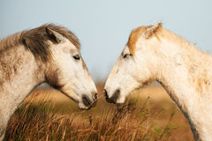 Two white horses of Camargue. Two foals in the Camargue, one opposite the other Stock Photography