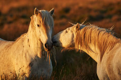 Two white horses of Camargue. In the warm light of the sunset Royalty Free Stock Image