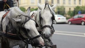 Two white horses with carriage stock footage