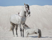 Two white horses on the desert royalty free stock images