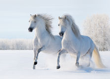 Two white horses gallop on snow field. Two white stallions gallop on snow field Stock Photo
