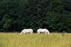 Two white horses graze in a paddock field near forest Royalty Free Stock Photos