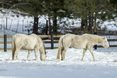 Two white horses grazing. Stock Photos