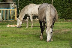 Two white horses grazing free in the farmland. Copy space Royalty Free Stock Photos