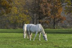 Two white horses grazing grass autumn nature background. Afternoon shot with shadows Stock Photos