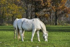 Two white horses grazing grass autumn nature background. Afternoon shot with shadows Stock Image