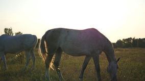 Two white horses grazing on the meadow at sunrise. Horses is eating green grass in the field. Close up. Two white horses grazing on the meadow at sunrise stock video