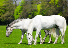 Two white horses  grazing in the pasture. On sunny day Stock Photography
