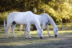 Two white horses grazing at sunset royalty free stock photos