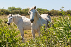 Two White Horses in a Green Field Stock Images