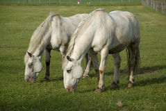 Two white horses on green meadow Stock Photos