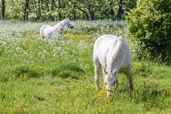 Two white horses on green pasture Stock Photo