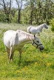 Two white horses on green pasture royalty free stock images