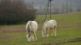 Two White Horses At Green Pasture. This is a shot of two beautiful white horses grazing together at green pasture at dull summer day. Tranquil rural scene stock footage