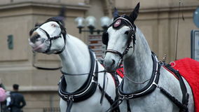 Two white horses in harness on the square. Full hd, 1080p stock video