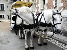 Two white horses harnessed Royalty Free Stock Photos