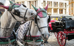 Two white horses harnessed to a carriage, Vienna Royalty Free Stock Photos