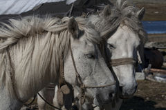 Two white horses head together. Royalty Free Stock Photos