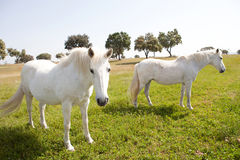 Two white horses in the meadow Royalty Free Stock Images