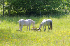 Two white horses in the meadow full of yellow flowers Royalty Free Stock Image