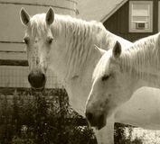 Two White Horses Stock Image