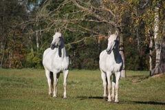 Two white horses at the pasture Royalty Free Stock Photos