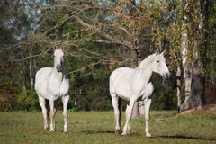 Two white horses at the pasture Royalty Free Stock Images