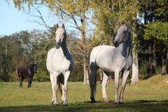 Two white horses at the pasture Royalty Free Stock Photography
