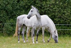 Two white horses in the pasture Stock Image