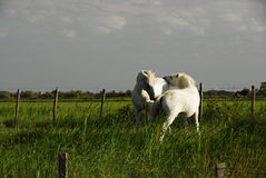 White Horses Royalty Free Stock Photography