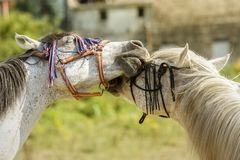 Two horses playing with their bridles stock photo